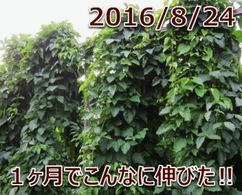 2016/8/24 わお!1ヶ月でこんなに伸びた!!