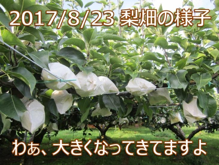 2017/8/23 赤井農園の完熟二十世紀梨 わぁ、大きくなってきてますよ