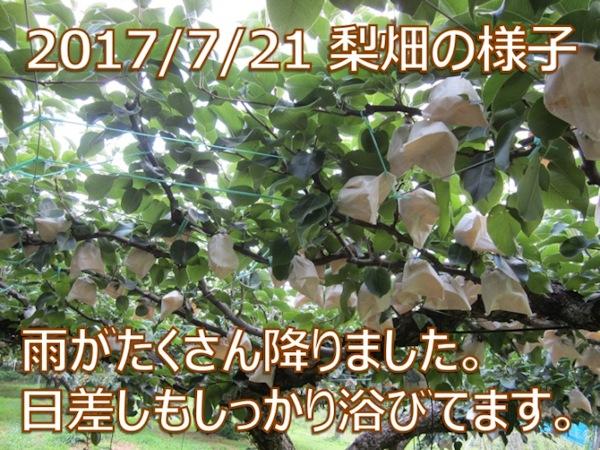 2017/7/21 赤井農園の完熟二十世紀梨 雨がたくさん降りました。日差しもしっかり浴びてます。