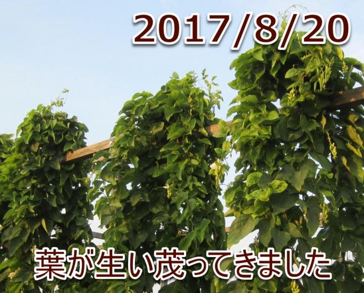 2017/8/20葉が生い茂ってきました