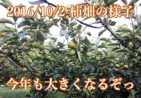 2016年10月2日 赤井頼光さんの柿畑
