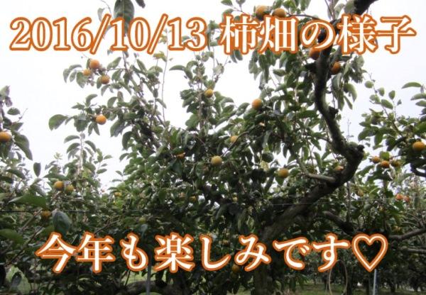 2016年10月13日 赤井頼光さんの柿畑