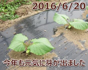 2016/6/20 今年も元気に芽が出ました