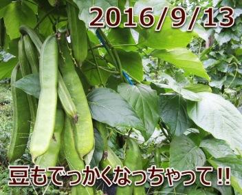 2016/9/13 豆もでっかくなっちゃって!