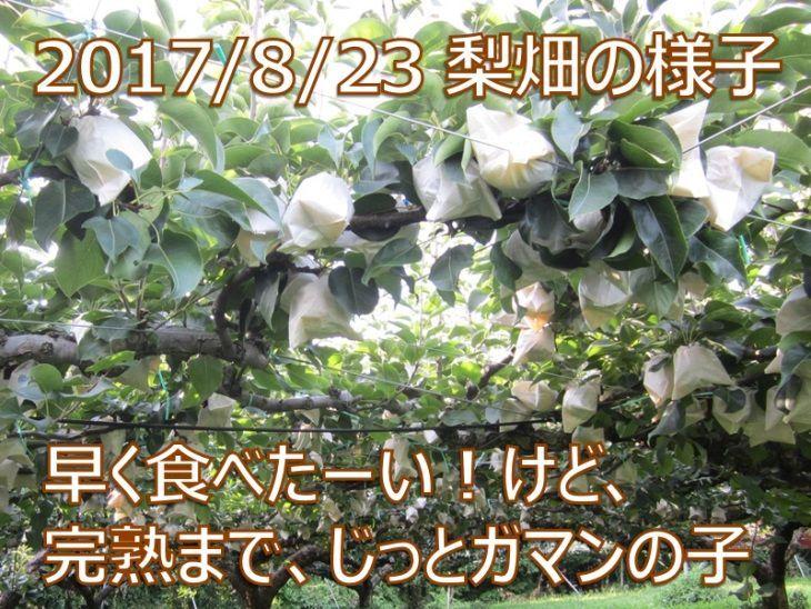 2017/8/23 赤井農園の完熟二十世紀梨 早く食べたーい!けど、完熟まで、じっとガマンの子