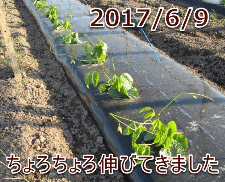 2017/6/9 ちょろちょろ伸びてきました