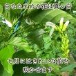 【なったんのなたまめっ茶】白なたまめの花は真っ白、七月にはきれいな花を咲かせます