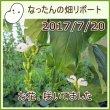 なったんの【大山のなたまめ畑リポート】2017/7/20 お花、咲いてました