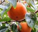 画像: 2012年 完熟富有柿の受付開始